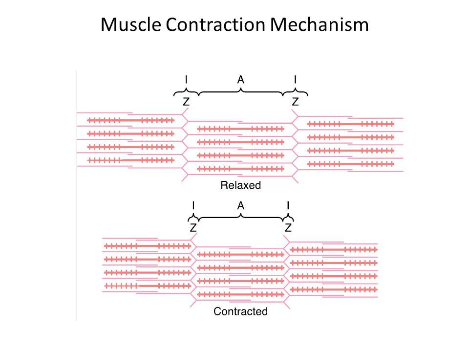Myosin Filament Made up of 200 or more individual myosin molecules having a molecular weight of about 480,000.