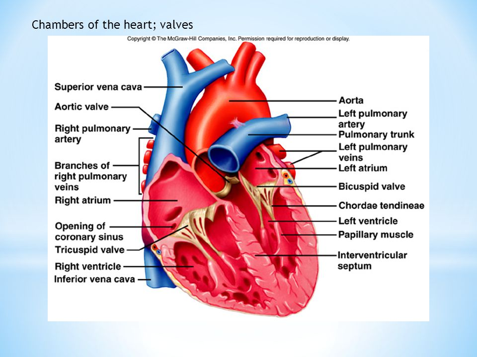 Chambers of the heart; valves