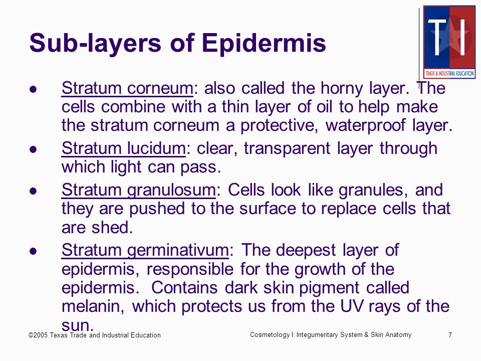 ©2005 Texas Trade and Industrial Education Cosmetology I: Integumentary System & Skin Anatomy 6 Epidermis The outermost and thinnest layer Forms a protective covering for the body Sub-layers: Stratum corneum Stratum lucidum Stratum granulosum Stratum germinativum