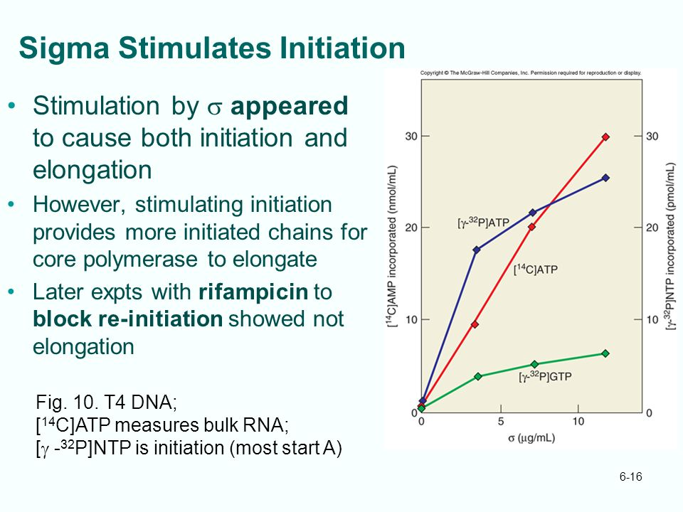 6-16 Sigma Stimulates Initiation Stimulation by  appeared to cause both initiation and elongation However, stimulating initiation provides more initi