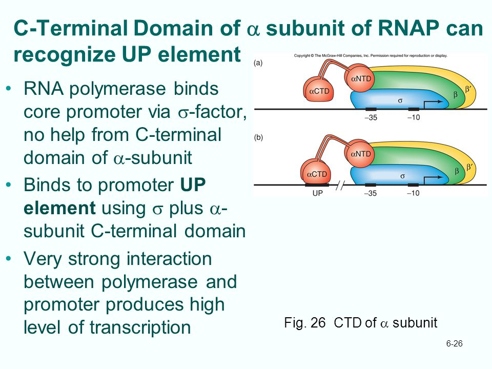 6-26 C-Terminal Domain of  subunit of RNAP can recognize UP element RNA polymerase binds core promoter via  -factor, no help from C-terminal domain