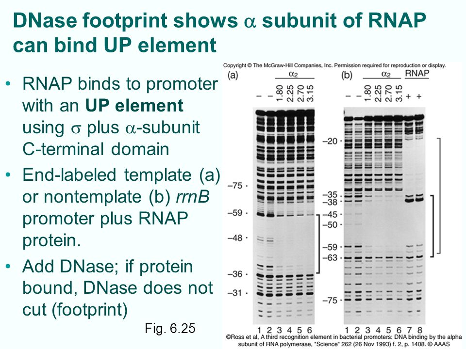 Fig. 6.25 DNase footprint shows  subunit of RNAP can bind UP element RNAP binds to promoter with an UP element using  plus  -subunit C-terminal dom