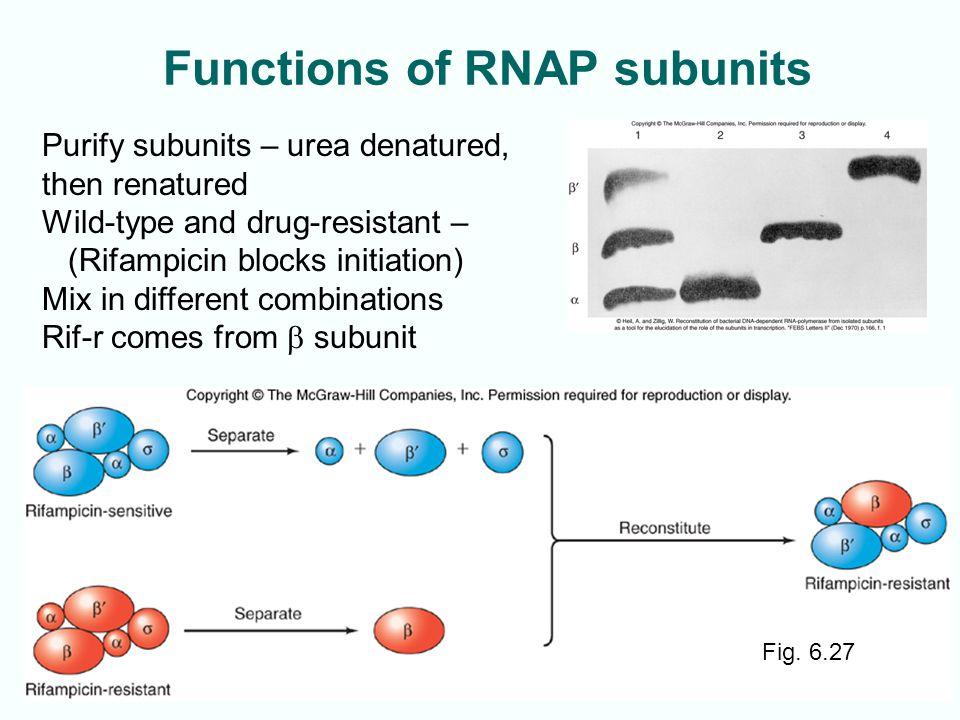 Functions of RNAP subunits 6-30 Fig. 6.27 Purify subunits – urea denatured, then renatured Wild-type and drug-resistant – (Rifampicin blocks initiatio