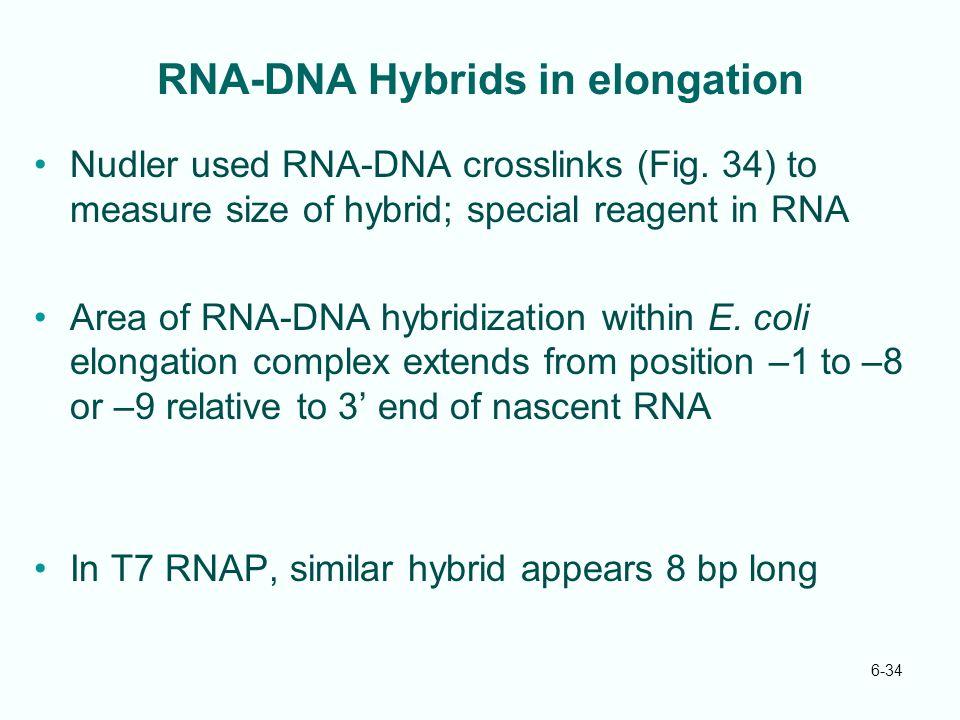 6-34 RNA-DNA Hybrids in elongation Nudler used RNA-DNA crosslinks (Fig. 34) to measure size of hybrid; special reagent in RNA Area of RNA-DNA hybridiz