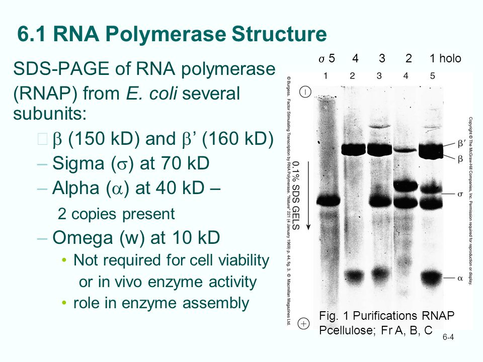 6-4 6.1 RNA Polymerase Structure SDS-PAGE of RNA polymerase (RNAP) from E. coli several subunits: –  (150 kD) and  ' (160 kD) –Sigma (  ) at 70 kD