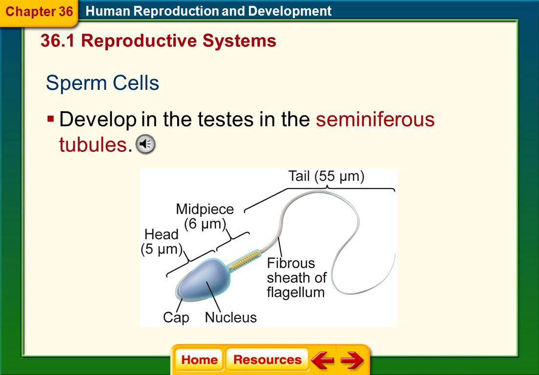 36.1 Reproductive Systems Human Male Reproductive System Human Reproduction and Development Chapter 36  Reproductive glands are called the testes and