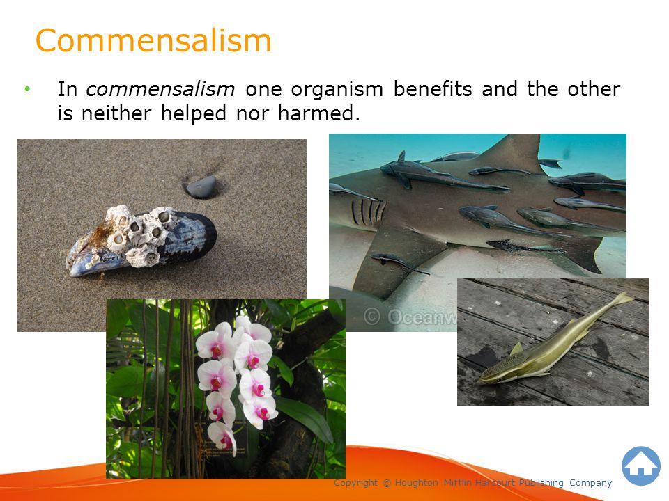 Commensalism Copyright © Houghton Mifflin Harcourt Publishing Company In commensalism one organism benefits and the other is neither helped nor harmed.