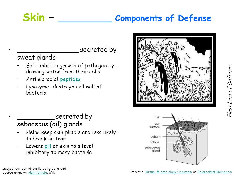 Skin – __________ Components of Defense _______________ secreted by sweat glands –Salt- inhibits growth of pathogen by drawing water from their cells –Antimicrobial peptidespeptides –Lysozyme- destroys cell wall of bacteria _________ secreted by sebaceous (oil) glands –Helps keep skin pliable and less likely to break or tear –Lowers pH of skin to a level inhibitory to many bacteriapH First Line of Defense Images: Cartoon of castle being defended, Source unknown; Hair follicle, WikiHair follicle From the Virtual Microbiology Classroom on ScienceProfOnline.comVirtual Microbiology ClassroomScienceProfOnline.com