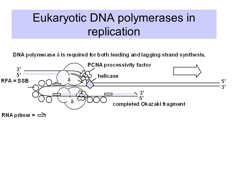 Eukaryotic DNA polymerases in replication