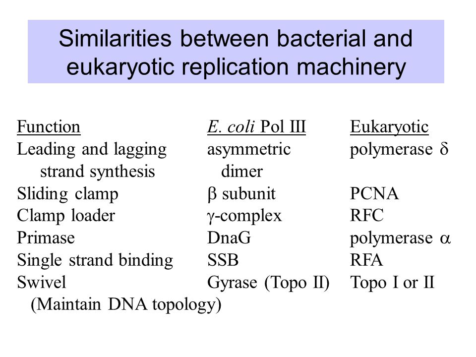 Similarities between bacterial and eukaryotic replication machinery FunctionE.