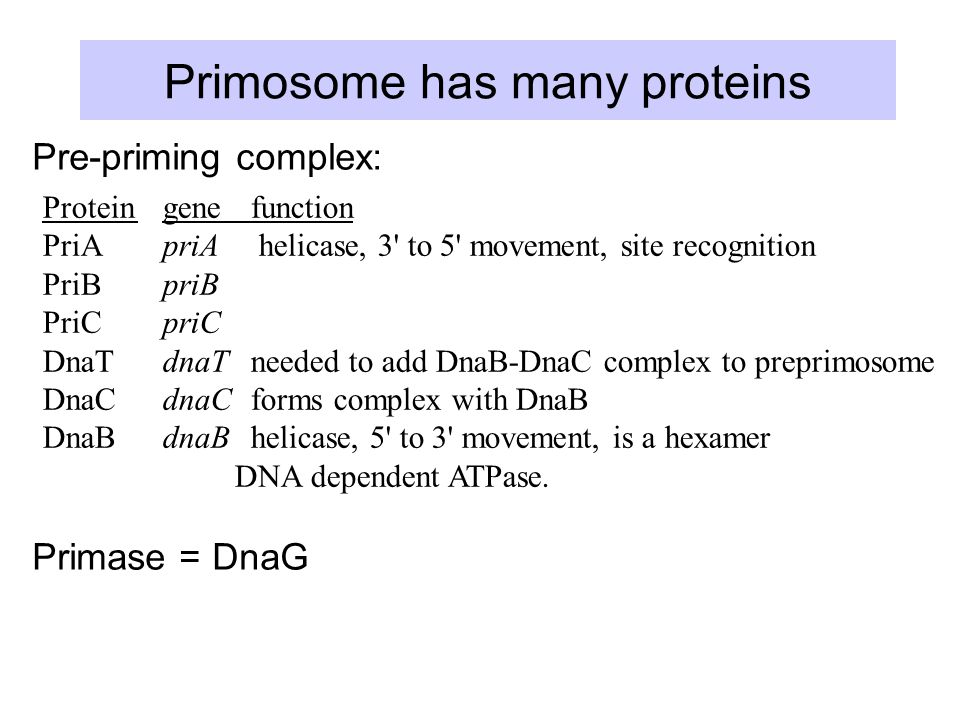 Primosome has many proteins Protein gene function PriA priA helicase, 3 to 5 movement, site recognition PriB priB PriC priC DnaT dnaT needed to add DnaB-DnaC complex to preprimosome DnaC dnaC forms complex with DnaB DnaB dnaB helicase, 5 to 3 movement, is a hexamer DNA dependent ATPase.