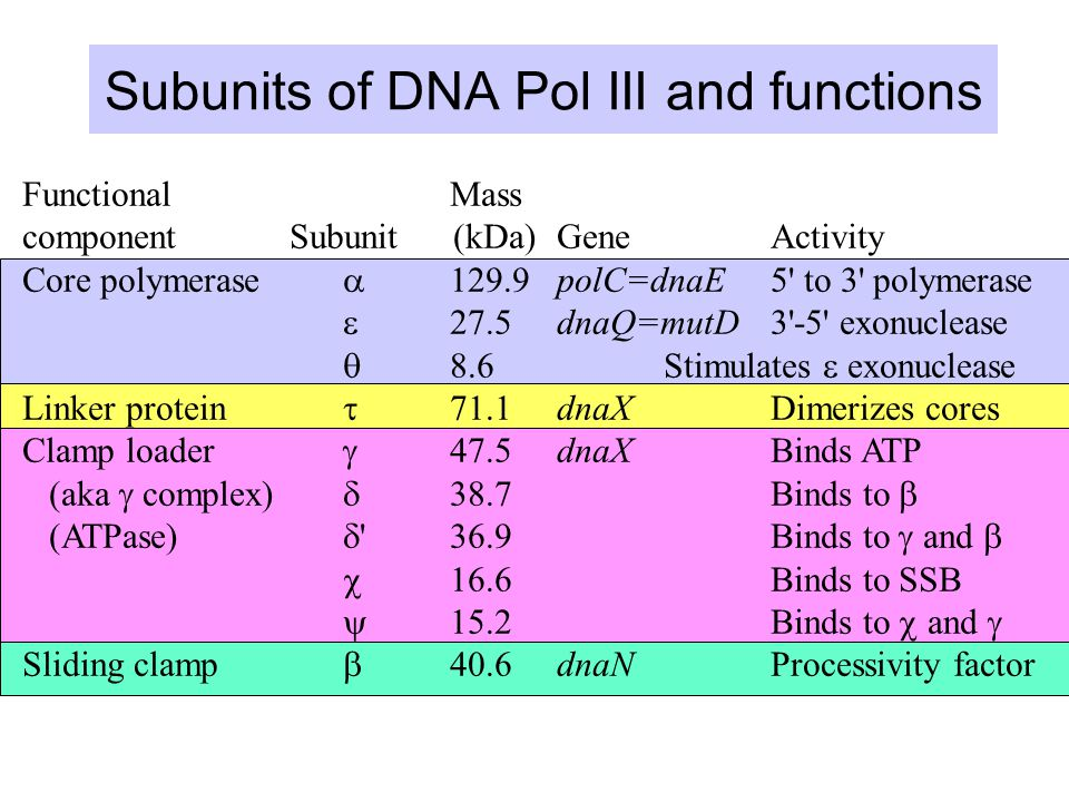 Functional Mass component Subunit (kDa)GeneActivity Core polymerase  129.9polC=dnaE5 to 3 polymerase  27.5dnaQ=mutD3 -5 exonuclease  8.6Stimulates  exonuclease Linker protein  71.1dnaXDimerizes cores Clamp loader  47.5dnaXBinds ATP (aka  complex)  38.7 Binds to  (ATPase)  36.9 Binds to  and   16.6 Binds to SSB  15.2 Binds to  and  Sliding clamp  40.6dnaNProcessivity factor Subunits of DNA Pol III and functions