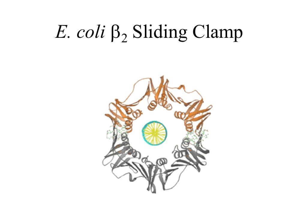E. coli  2 Sliding Clamp