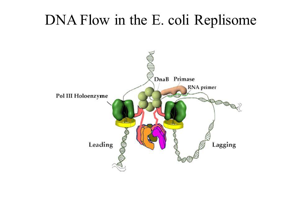 DNA Flow in the E. coli Replisome