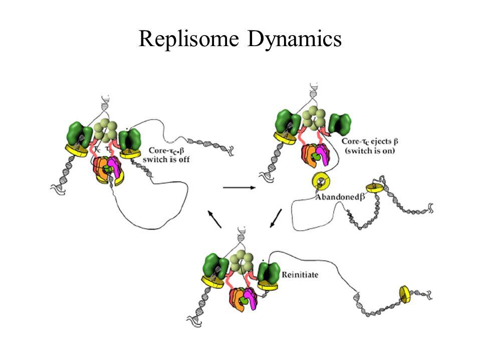 Replisome Dynamics