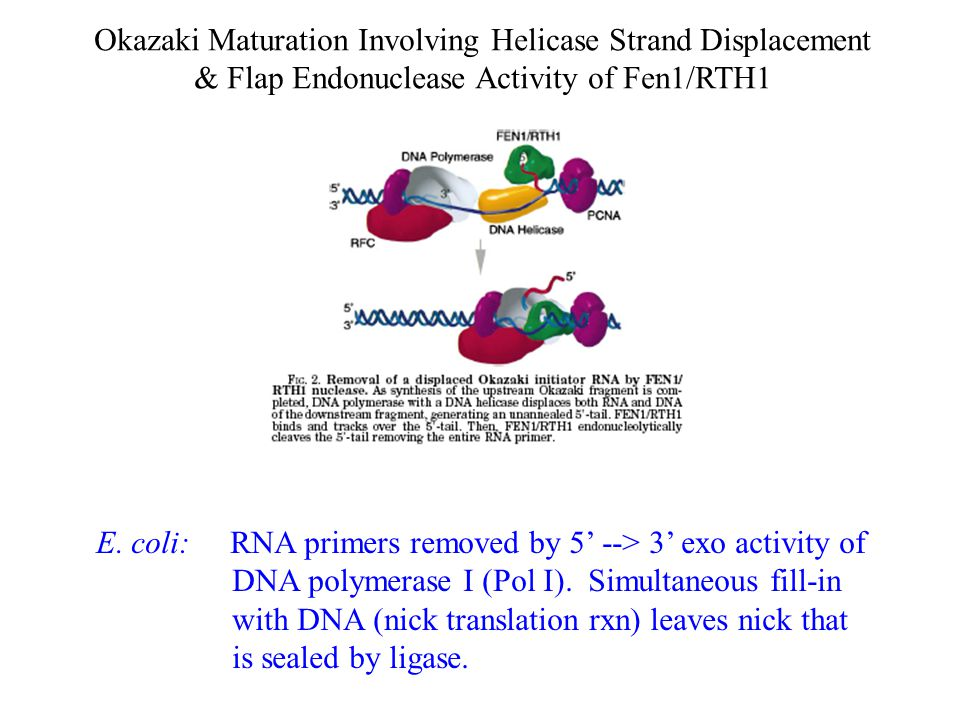 Okazaki Maturation Involving Helicase Strand Displacement & Flap Endonuclease Activity of Fen1/RTH1 E. coli: RNA primers removed by 5' --> 3' exo acti