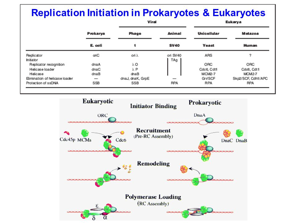 Replication Initiation in Prokaryotes & Eukaryotes