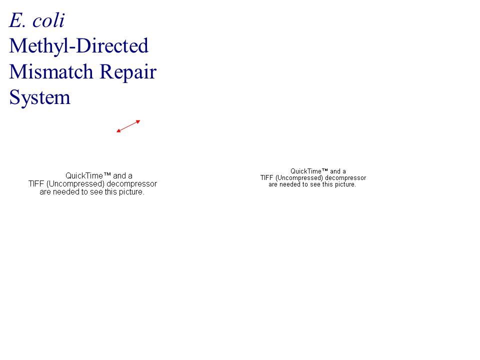 E. coli Methyl-Directed Mismatch Repair System