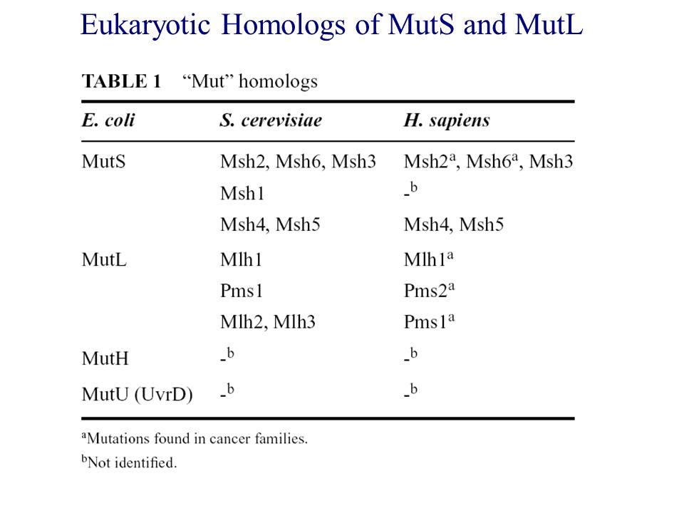 Eukaryotic Homologs of MutS and MutL