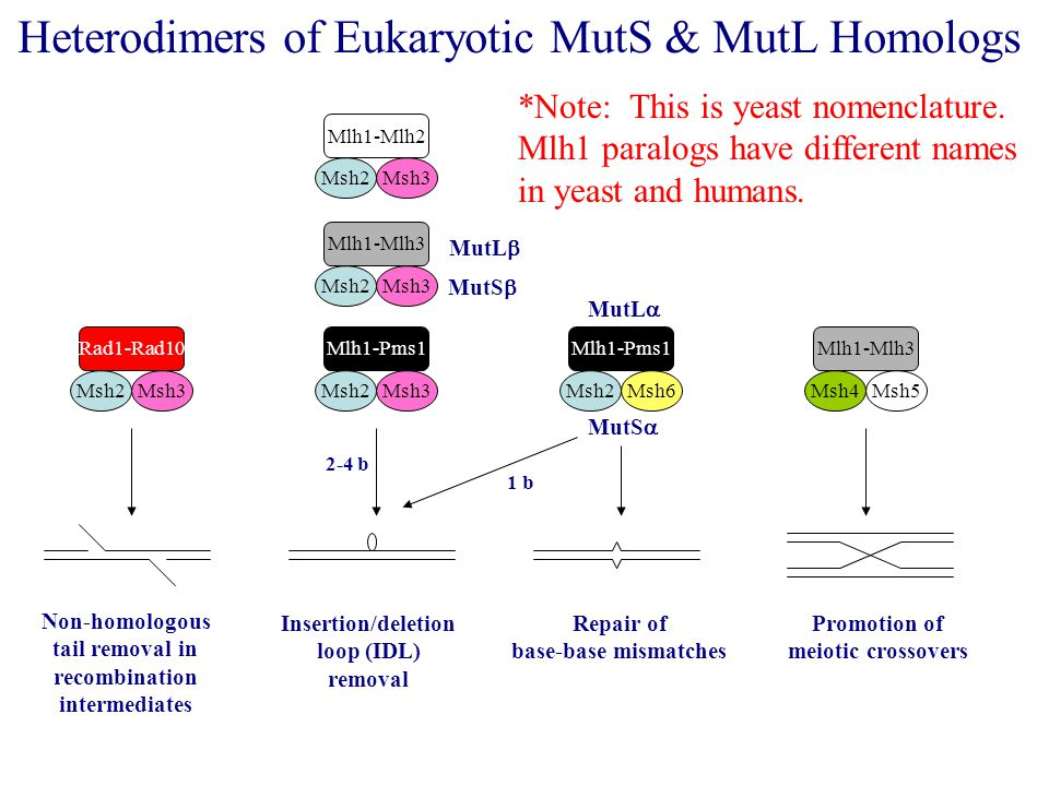 Mlh1-Pms1 Heterodimers of Eukaryotic MutS & MutL Homologs Msh2Msh3 Mlh1-Mlh2 Msh2Msh3 Mlh1-Mlh3 Msh2Msh3 Mlh1-Pms1 Msh2Msh6 Rad1-Rad10 Msh2Msh3Msh4Msh5 Mlh1-Mlh3 Non-homologous tail removal in recombination intermediates Insertion/deletion loop (IDL) removal Repair of base-base mismatches Promotion of meiotic crossovers MutS  MutS  MutL  MutL  *Note: This is yeast nomenclature.
