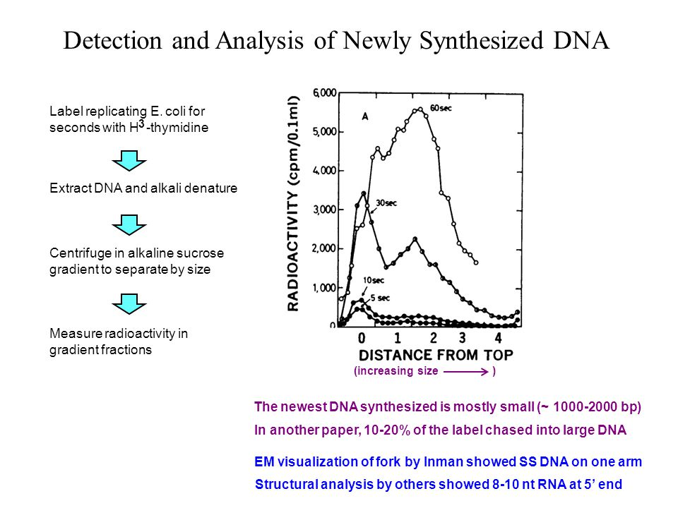 Detection and Analysis of Newly Synthesized DNA The newest DNA synthesized is mostly small (~ 1000-2000 bp) Label replicating E.