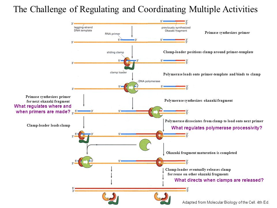 The Challenge of Regulating and Coordinating Multiple Activities Primase synthesizes primer Clamp-loader positions clamp around primer-template Polymerase dissociates from clamp to load onto next primer Polymerase loads onto primer-template and binds to clamp Polymerase synthesizes okazaki fragment Okazaki fragment maturation is completed Clamp-loader eventually releases clamp for reuse on other okazaki fragments Primase synthesizes primer for next okazaki fragment Clamp-loader loads clamp Adapted from Molecular Biology of the Cell.
