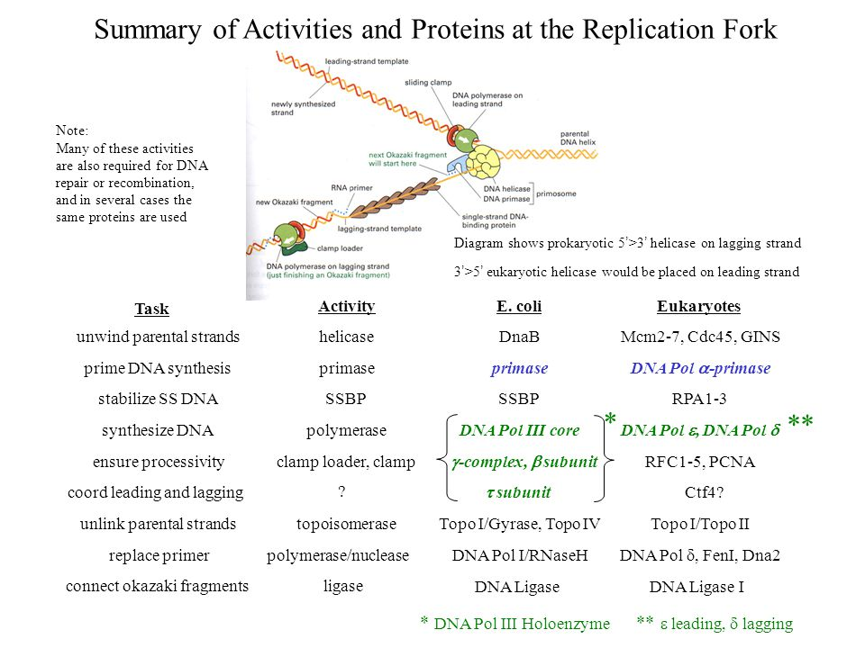 Summary of Activities and Proteins at the Replication Fork Diagram shows prokaryotic 5 ' >3 ' helicase on lagging strand 3 ' >5 ' eukaryotic helicase would be placed on leading strand Task Activity E.