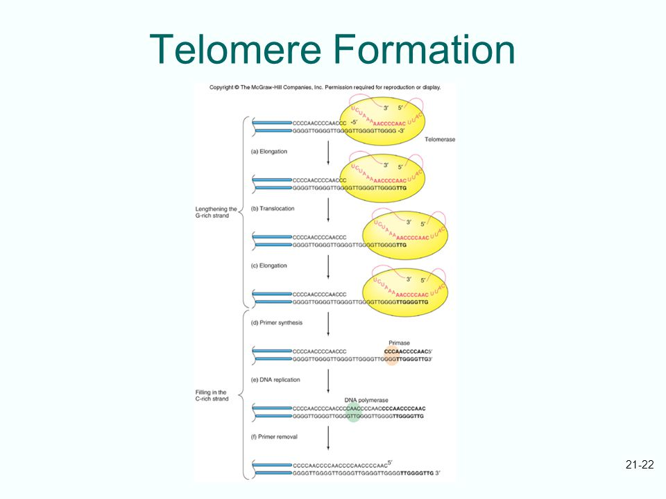 21-22 Telomere Formation