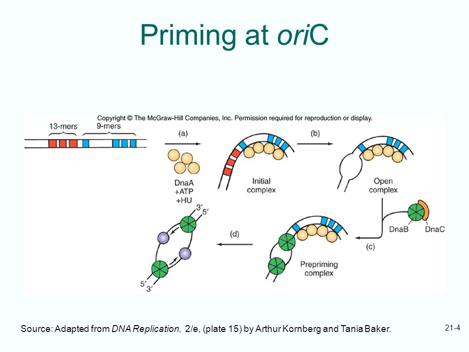 21-4 Priming at oriC Source: Adapted from DNA Replication, 2/e, (plate 15) by Arthur Kornberg and Tania Baker.