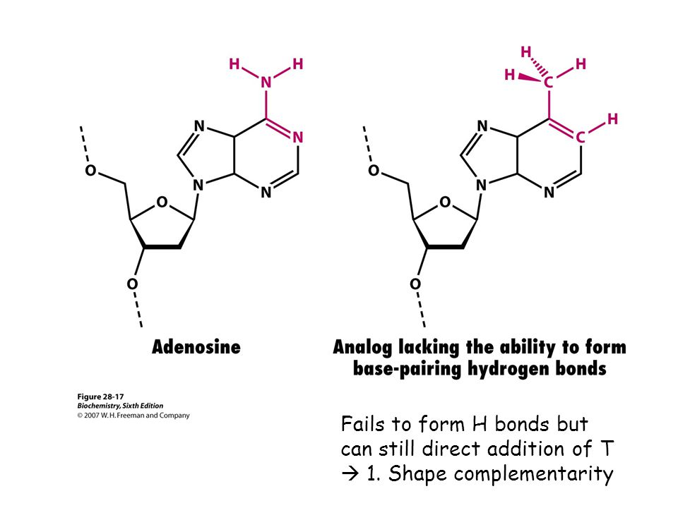 Fails to form H bonds but can still direct addition of T  1. Shape complementarity