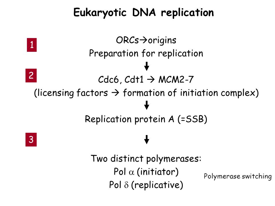 ORCs  origins Preparation for replication Cdc6, Cdt1  MCM2-7 (licensing factors  formation of initiation complex) Replication protein A (=SSB) Two