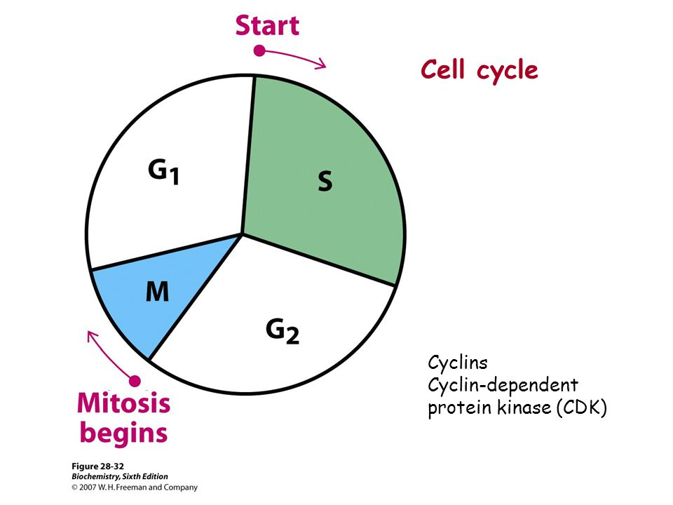 Cyclins Cyclin-dependent protein kinase (CDK) Cell cycle
