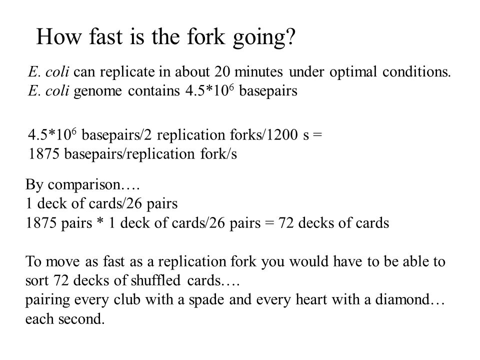 How fast is the fork going.E. coli can replicate in about 20 minutes under optimal conditions.