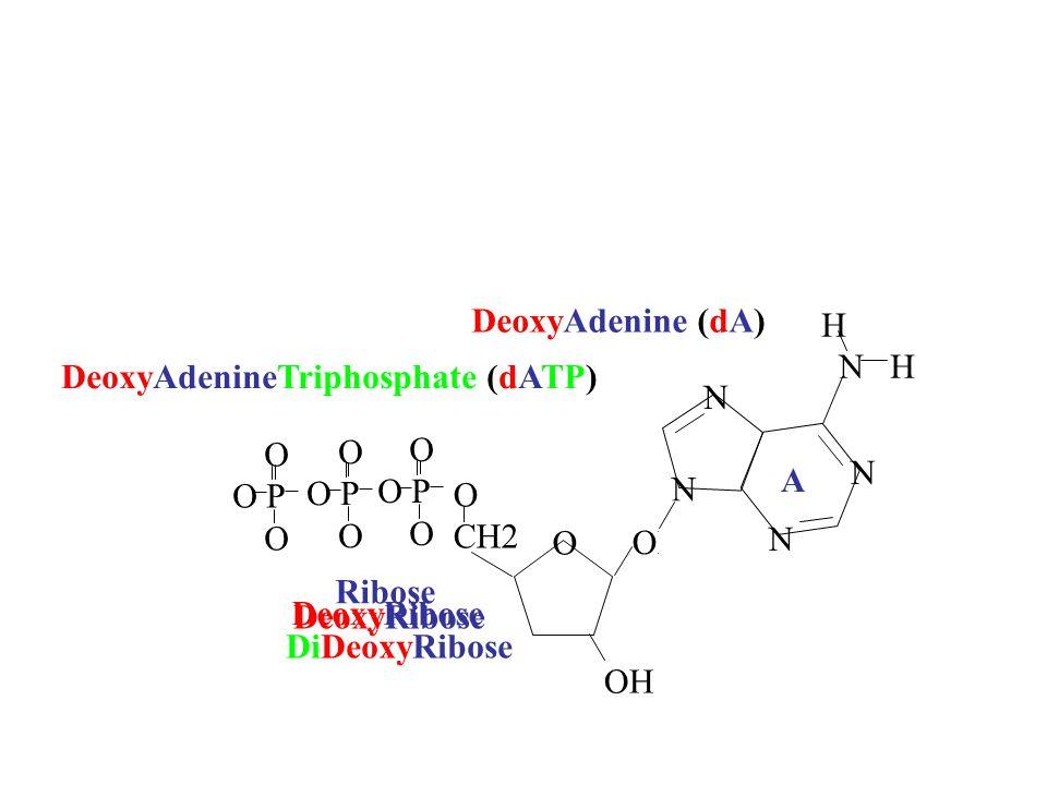 OH CH2 O OH O O P O O P O O P O OH Ribose DeoxyRibose DiDeoxyRibose N N N N H N H A DeoxyAdenine (dA) DeoxyAdenineTriphosphate (dATP) DeoxyRibose