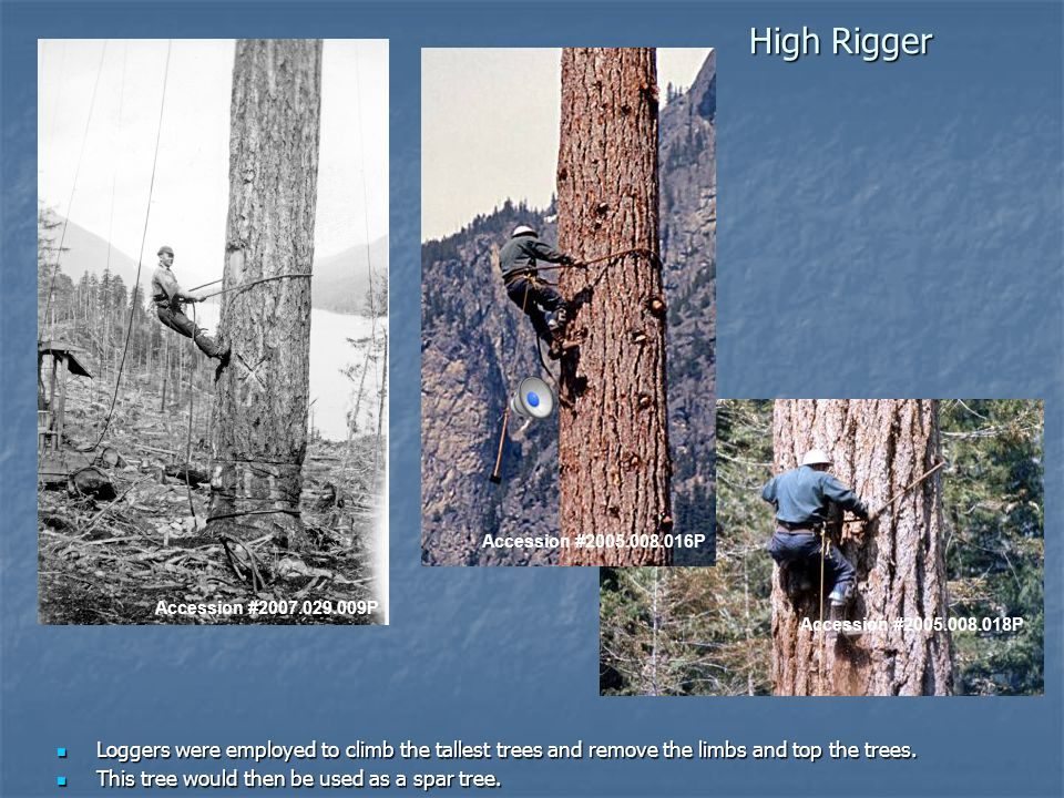 High Rigger Accession #2007.029.009P Loggers were employed to climb the tallest trees and remove the limbs and top the trees.