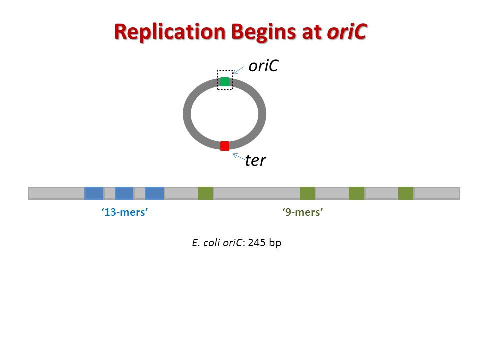 oriC ter '9-mers' '13-mers' Replication Begins at oriC E. coli oriC: 245 bp