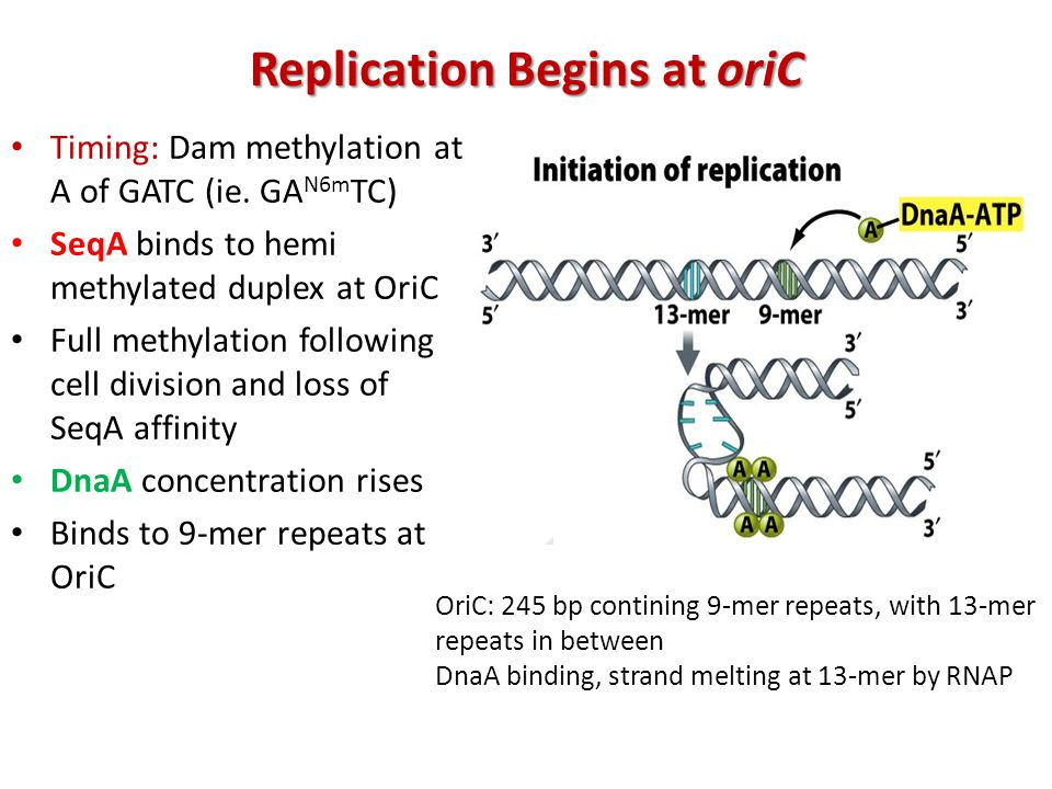 Replication Begins at oriC Timing: Dam methylation at A of GATC (ie.