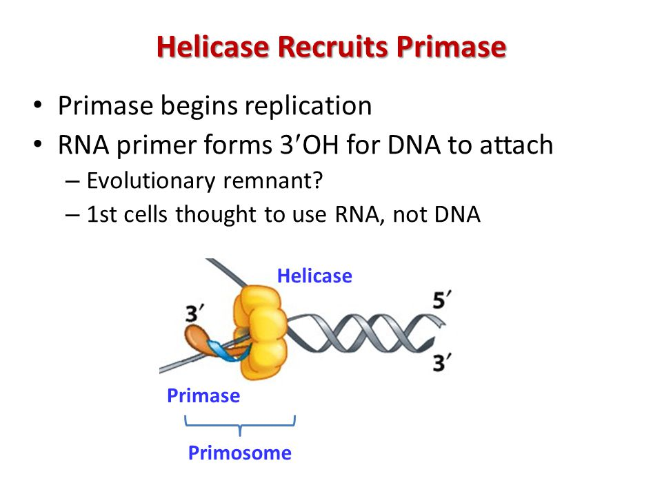 Helicase Recruits Primase Primase begins replication RNA primer forms 3OH for DNA to attach – Evolutionary remnant.