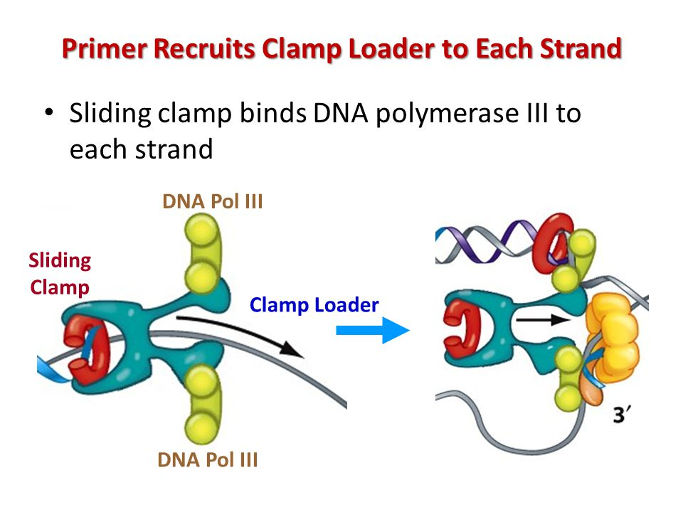 Primer Recruits Clamp Loader to Each Strand Sliding clamp binds DNA polymerase III to each strand DNA Pol III Sliding Clamp Clamp Loader