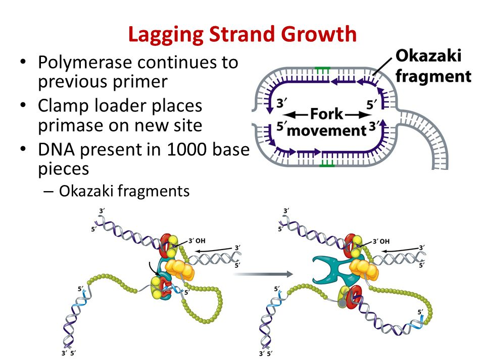 Lagging Strand Growth Polymerase continues to previous primer Clamp loader places primase on new site DNA present in 1000 base pieces – Okazaki fragments