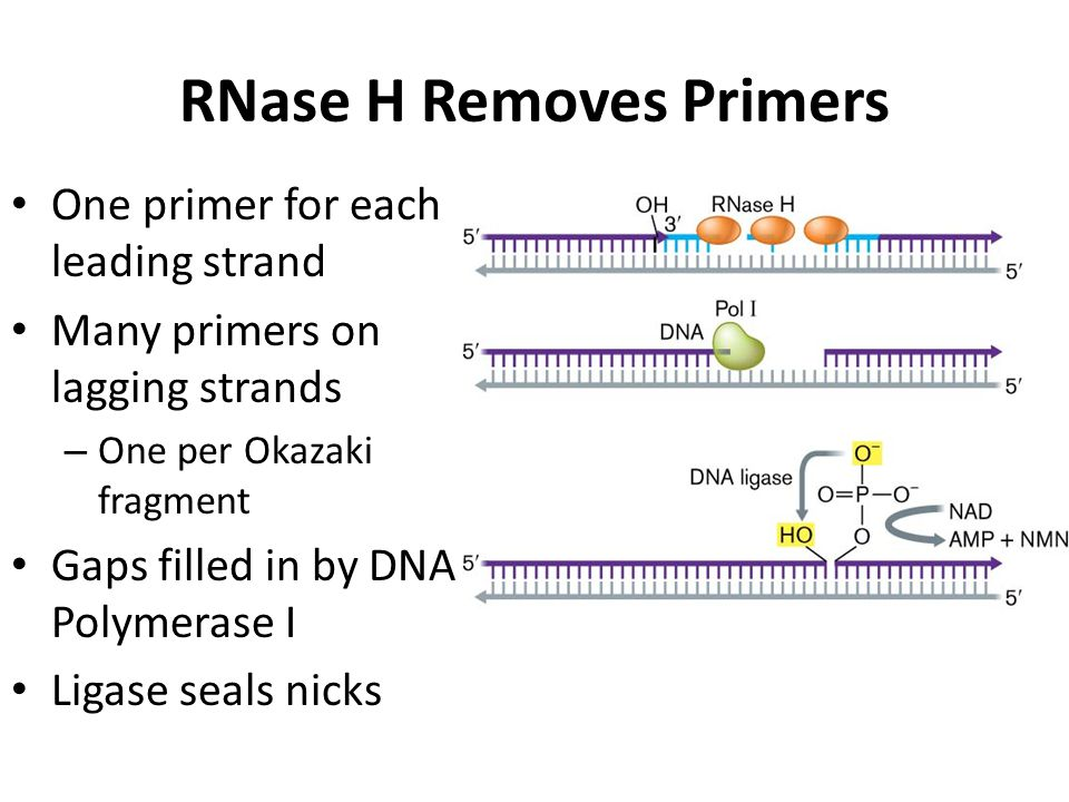 RNase H Removes Primers One primer for each leading strand Many primers on lagging strands – One per Okazaki fragment Gaps filled in by DNA Polymerase