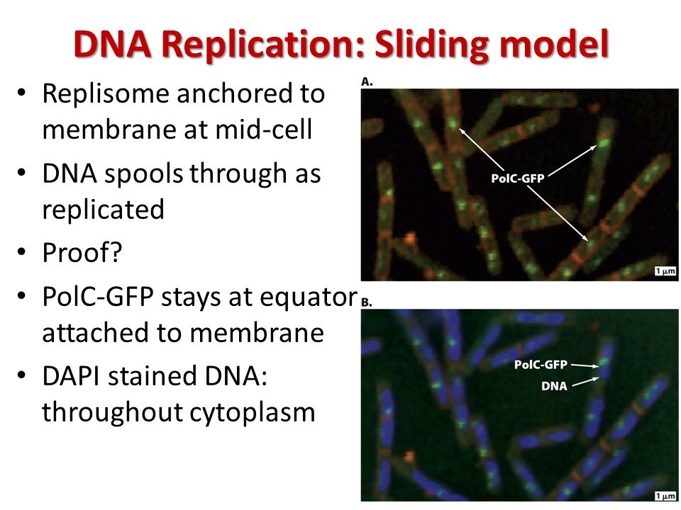 DNA Replication: Sliding model Replisome anchored to membrane at mid-cell DNA spools through as replicated Proof.