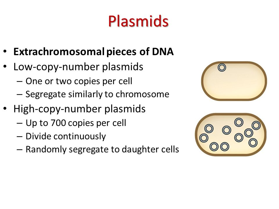Plasmids Extrachromosomal pieces of DNA Low-copy-number plasmids – One or two copies per cell – Segregate similarly to chromosome High-copy-number plasmids – Up to 700 copies per cell – Divide continuously – Randomly segregate to daughter cells