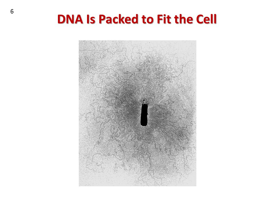 DNA Is Packed to Fit the Cell 6