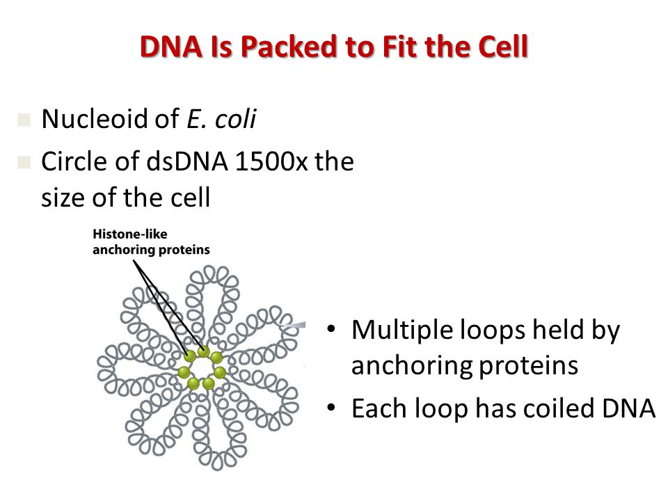 Multiple loops held by anchoring proteins Each loop has coiled DNA Nucleoid of E.