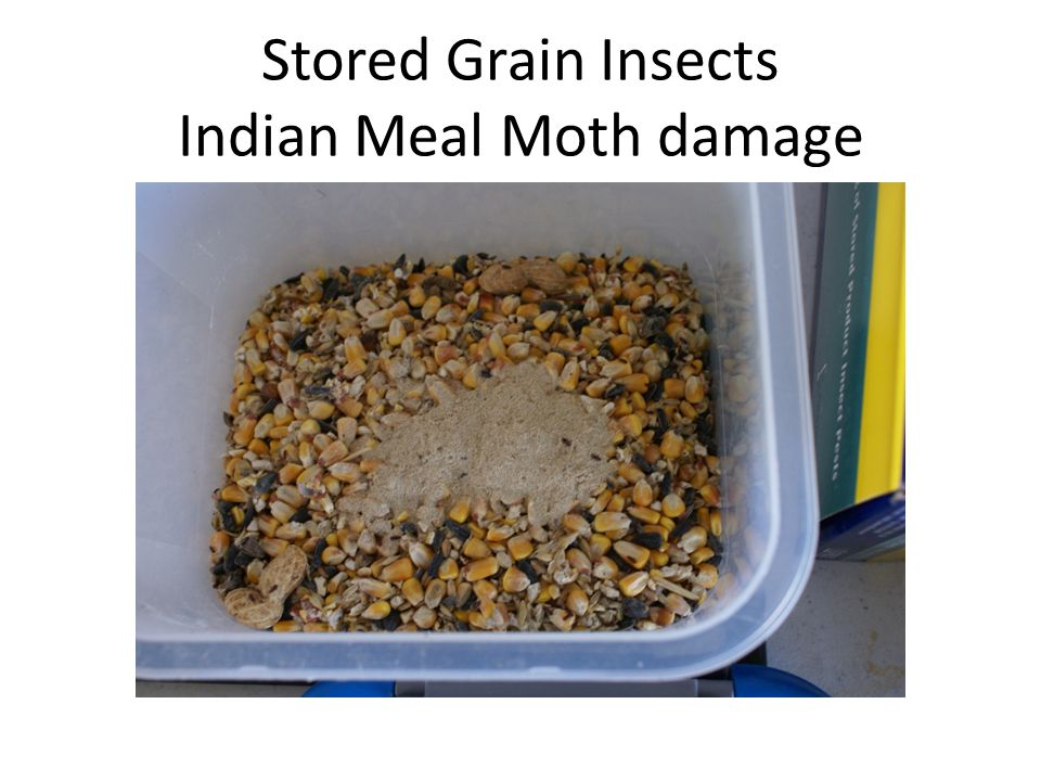 Stored Grain Insects Indian Meal Moth damage