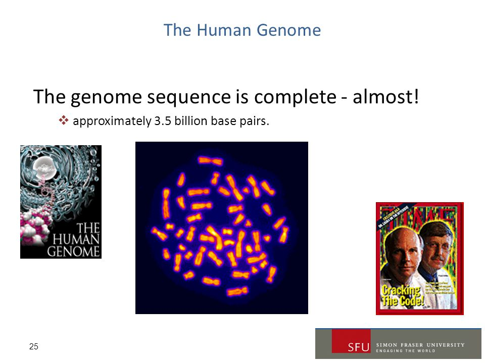 25 The Human Genome The genome sequence is complete - almost!  approximately 3.5 billion base pairs.