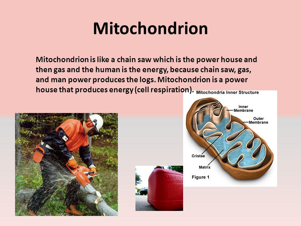 Mitochondrion Mitochondrion is like a chain saw which is the power house and then gas and the human is the energy, because chain saw, gas, and man power produces the logs.