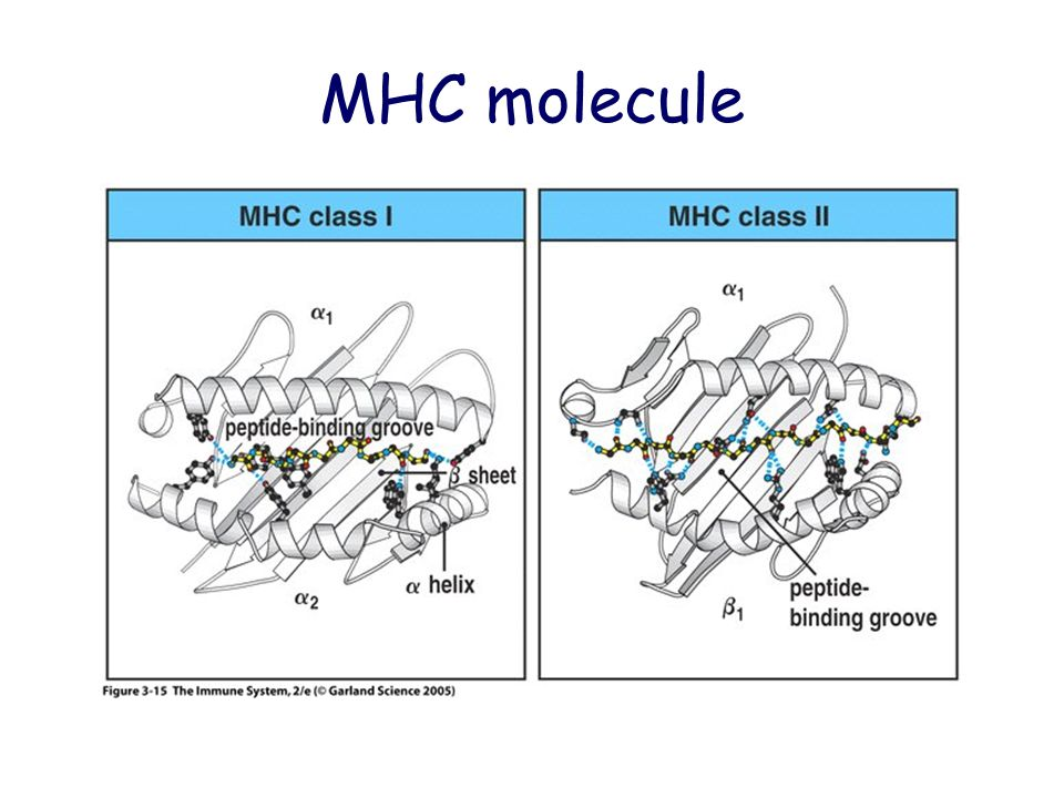 MHC molecule