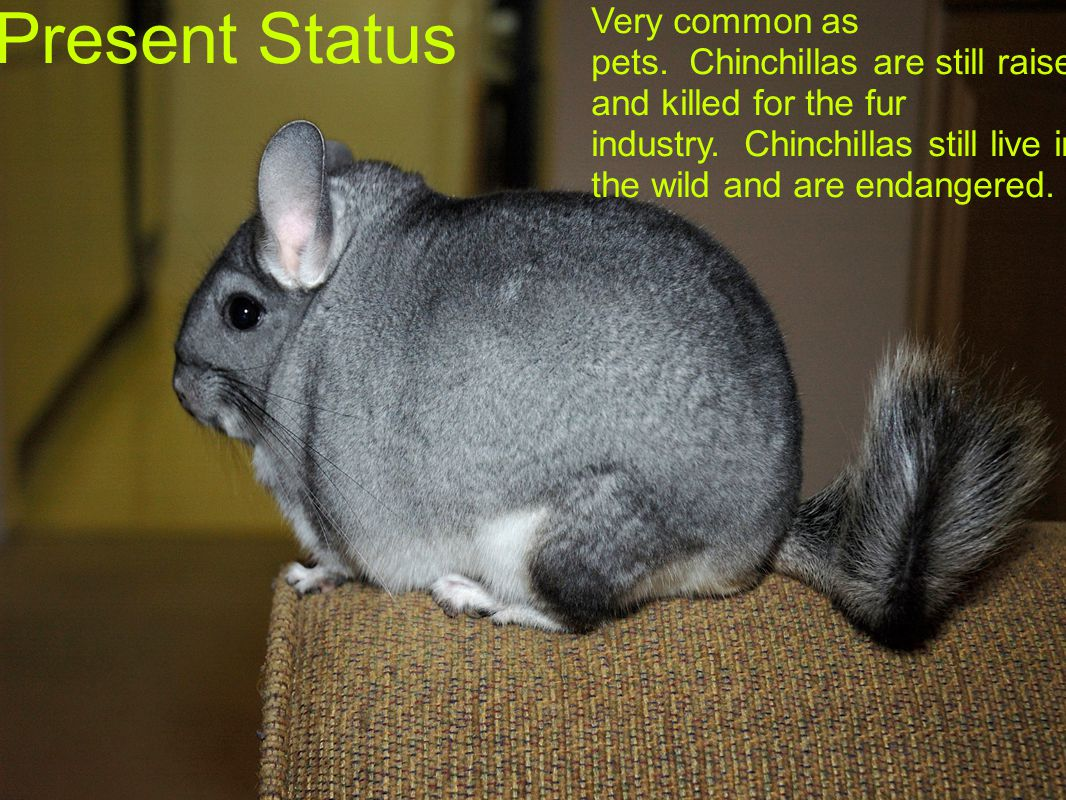 Present Status Very common as pets. Chinchillas are still raised and killed for the fur industry. Chinchillas still live in the wild and are endangere